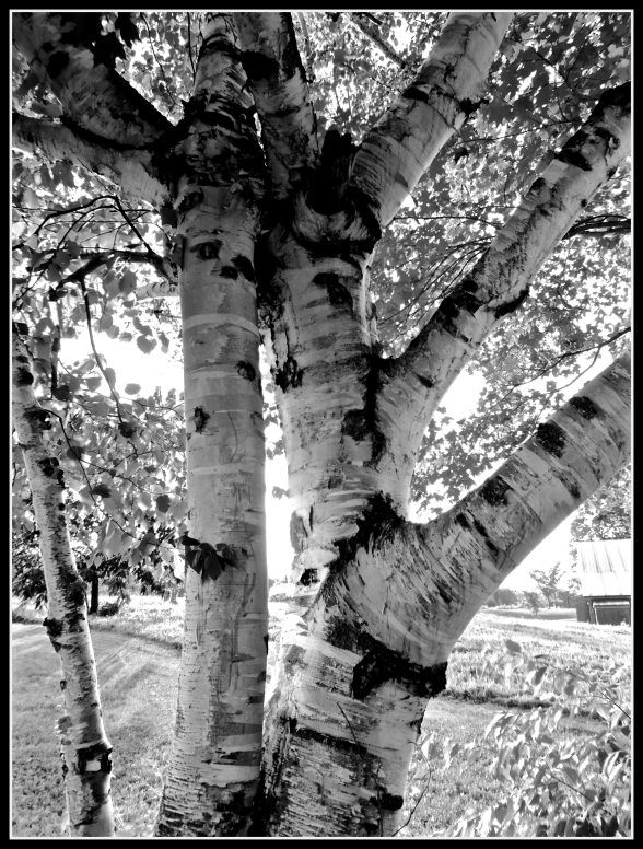 black and white trees 2