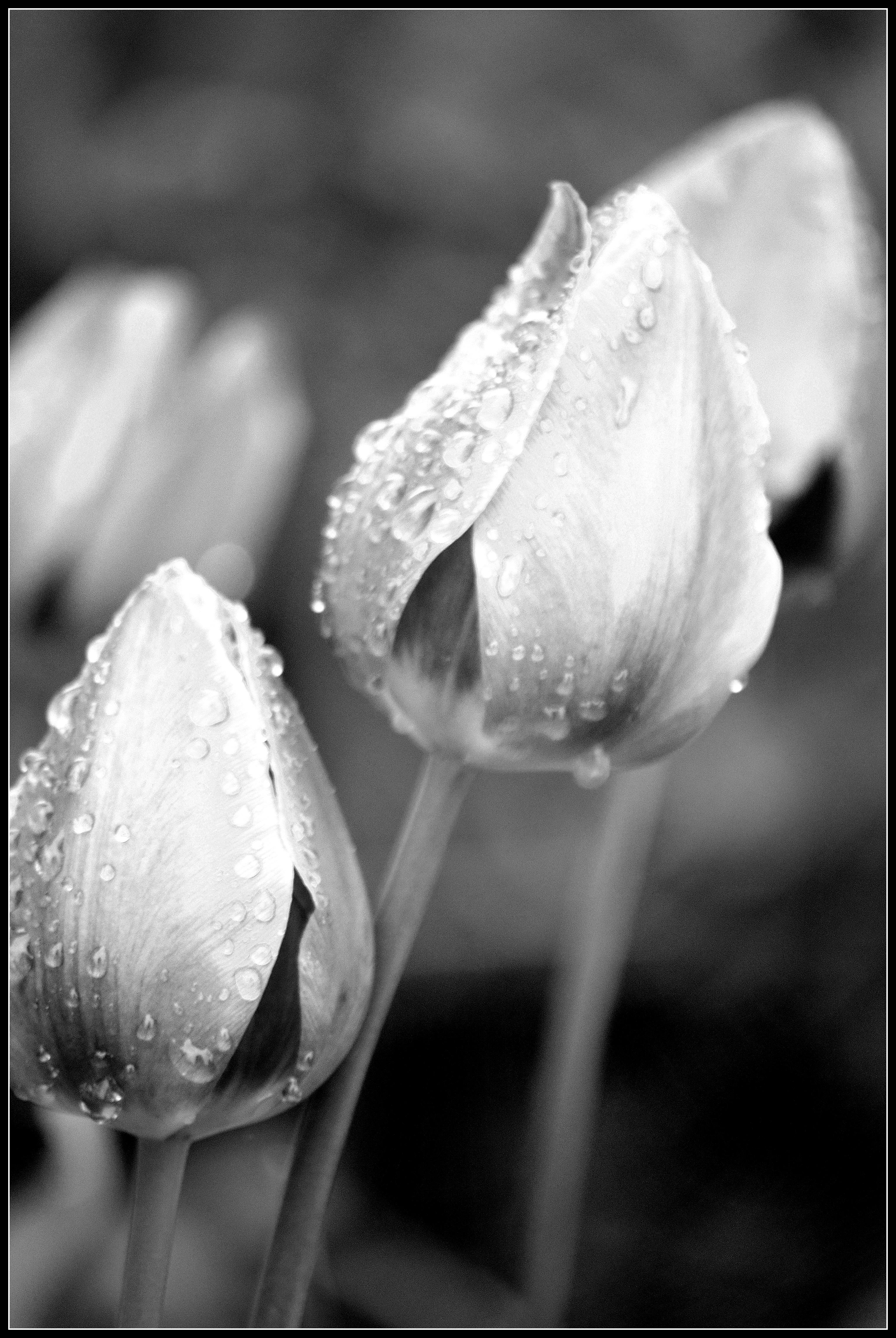 Black And White Photo Challenge Flowers Living Life Despite